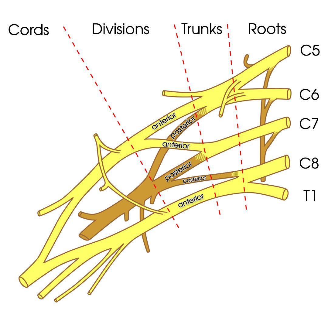 Brachial Plexus additionally Quanto Pesa Lo Scheletro also 8872085 moreover Learning About The Shoulder additionally Iliopsoas Muscle. on musculoskeletal system