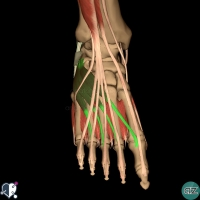 foot muscles - dorsal - extensor digitorum brevis