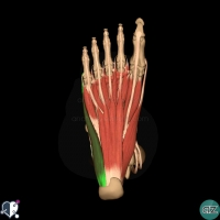 foot muscles - first layer - abductor digiti minimi