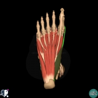 foot muscles - first layer - abductor hallucis