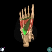 foot muscles - third layer - adductor hallucis