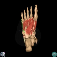 foot muscles - third layer - flexor digiti minimi brevis