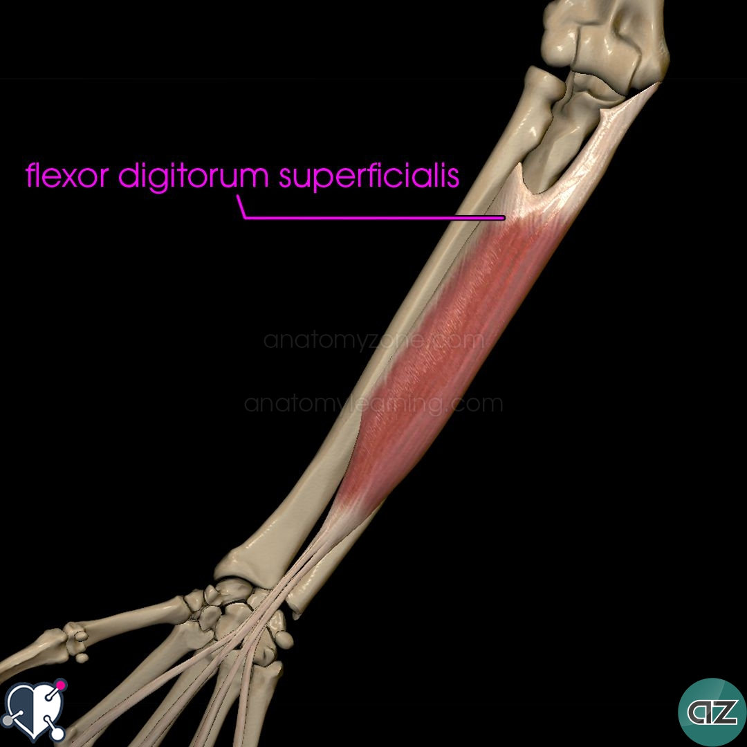 Muscles Of The Forearm Anatomyzone