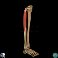 leg muscles - lateral - fibularis brevis