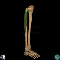 leg muscles - lateral - fibularis longus
