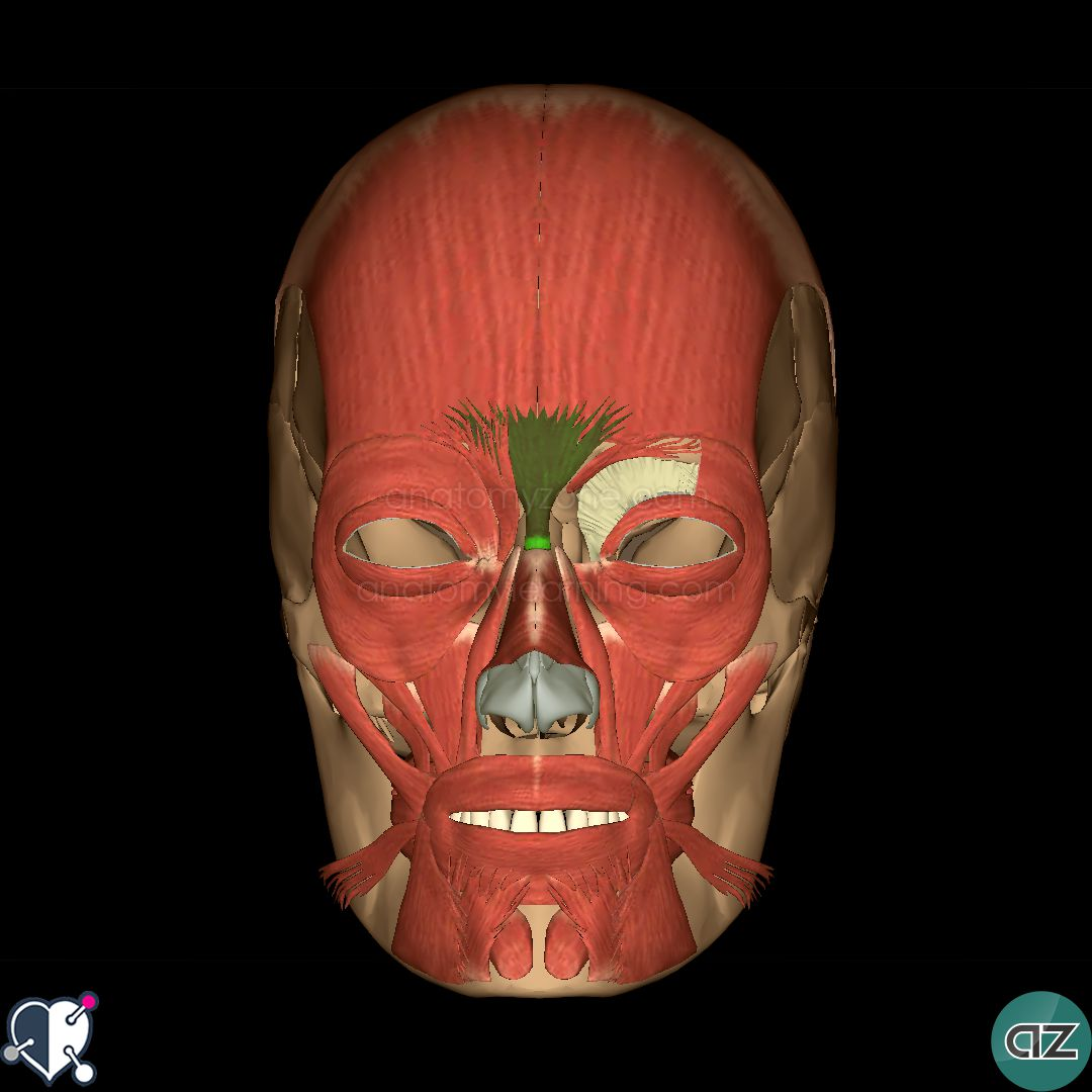muscles of facial expression | anatomyzone, Cephalic Vein