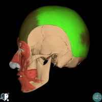 Face - muscles - occipitofrontalis lateral