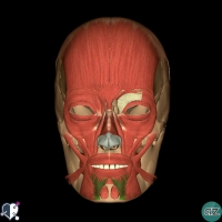Face - muscles - oral - depressor labii inferioris
