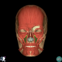 Face - muscles - oral - levator labii superioris