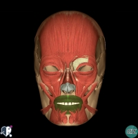 Face - muscles - oral - orbicularis oris