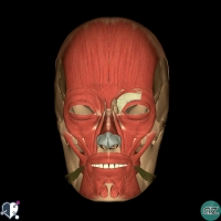 Face - muscles - oral - risorius