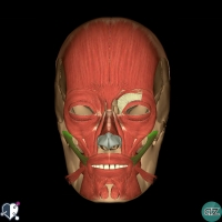 Face - muscles - oral - zygomaticus major