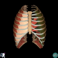Thorax - thoracic wall - innermost intercostals
