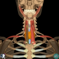 Neck - Infrahyoid - sternothyroid