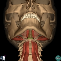 Neck - Suprahyoid - geniohyoid inferior view