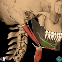 Neck - Suprahyoid - mylohyoid