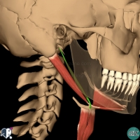 Neck - Suprahyoid - stylohyoid