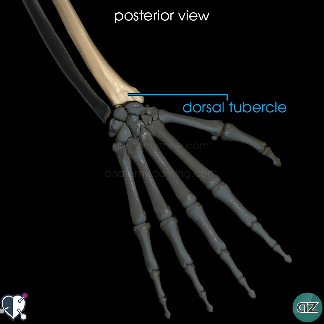 Radius and Ulna | AnatomyZone