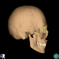 Skull - lateral - lacrimal