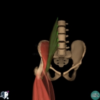 thigh muscles - anterior - psoas major