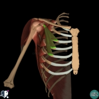 pectoral region - pectoralis minor
