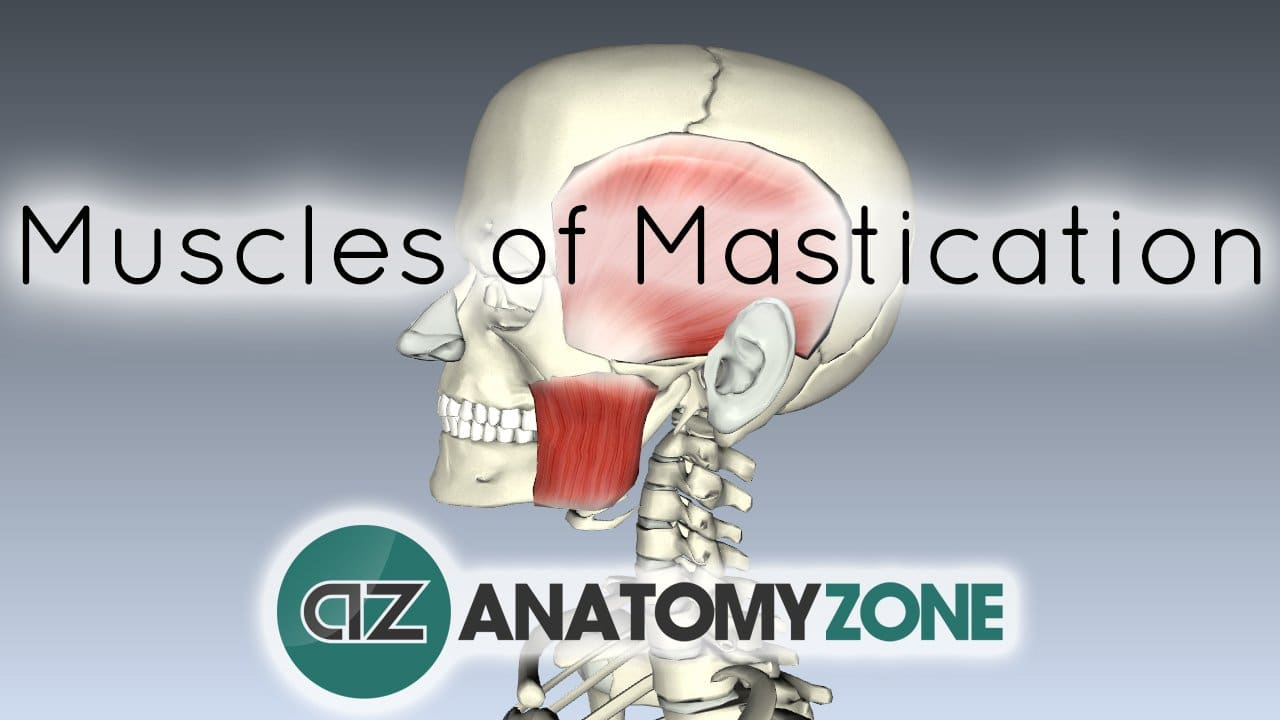 Muscles of Mastication • Muscular, Musculoskeletal • AnatomyZone