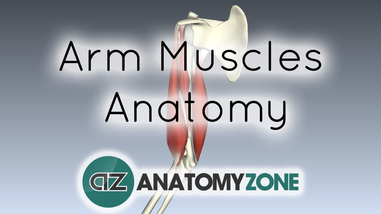Muscles Of The Arm Muscular Musculoskeletal Anatomyzone