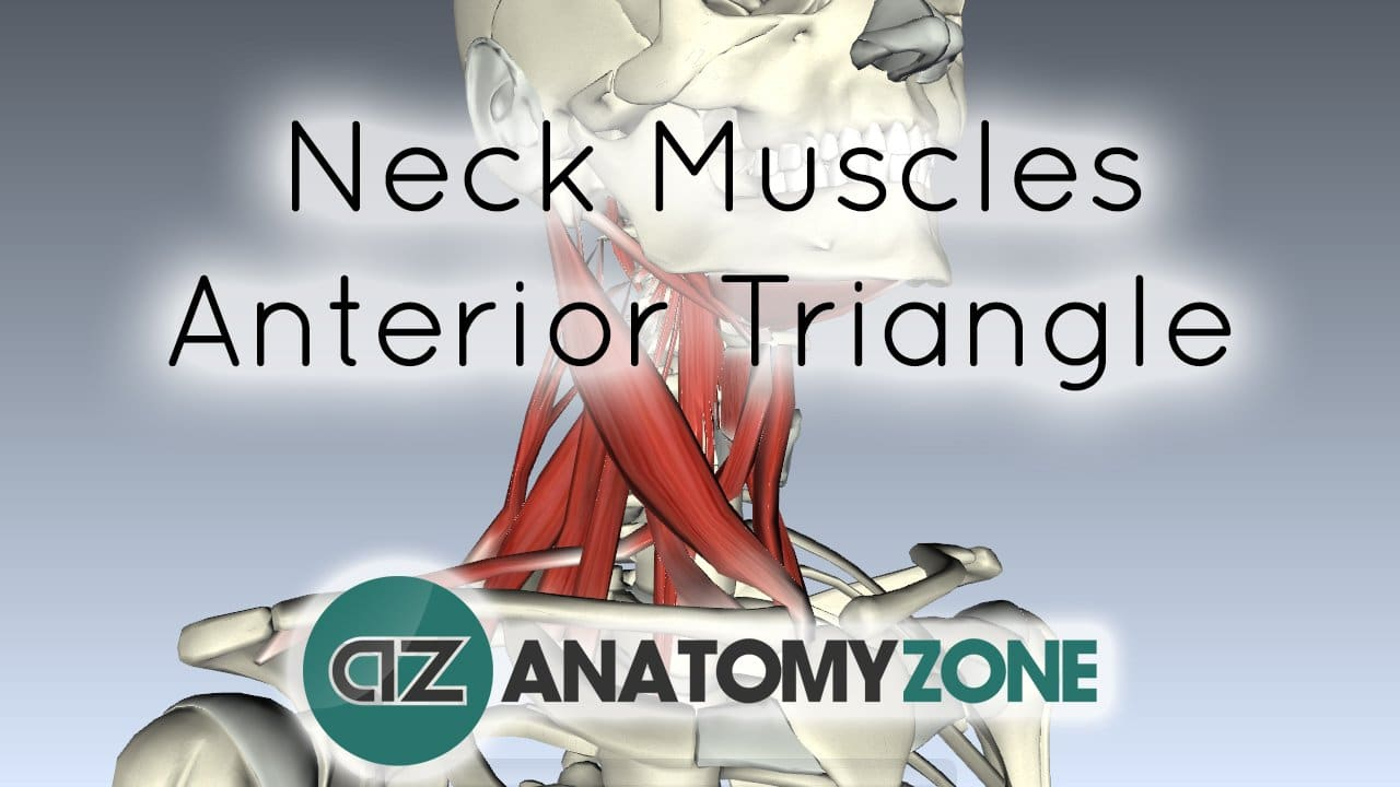 Muscles Of The Neck Anterior Triangle Muscular Musculoskeletal