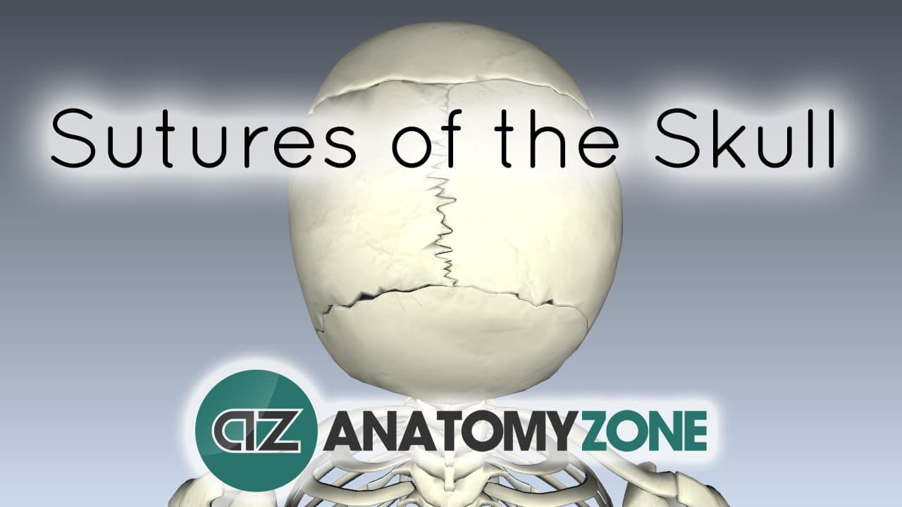 Sutures of the Skull • Skeletal • AnatomyZone
