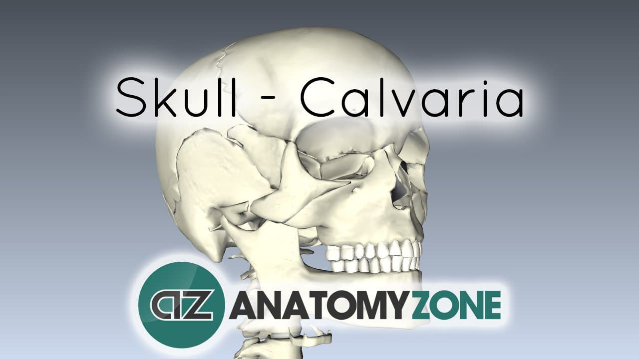 Skull Tutorial Bones Of The Calvaria