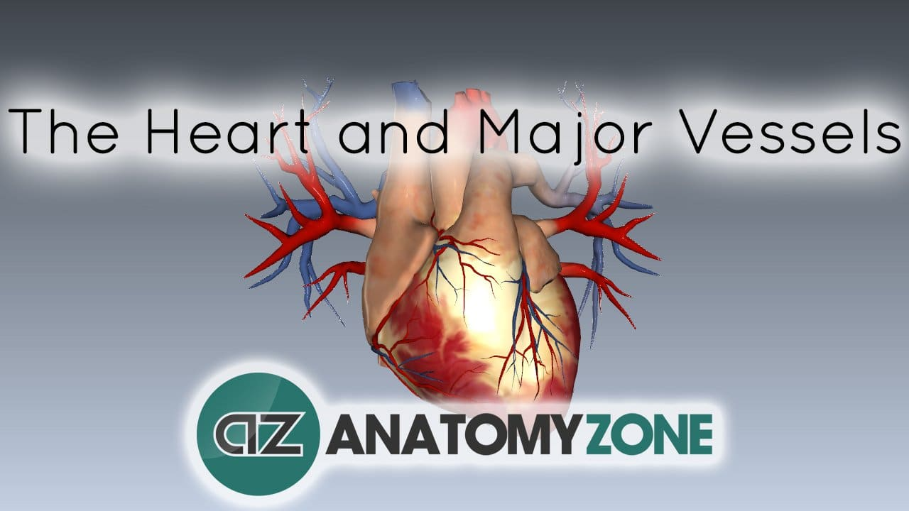 The Heart And Major Vessels Cardiovascular Anatomyzone