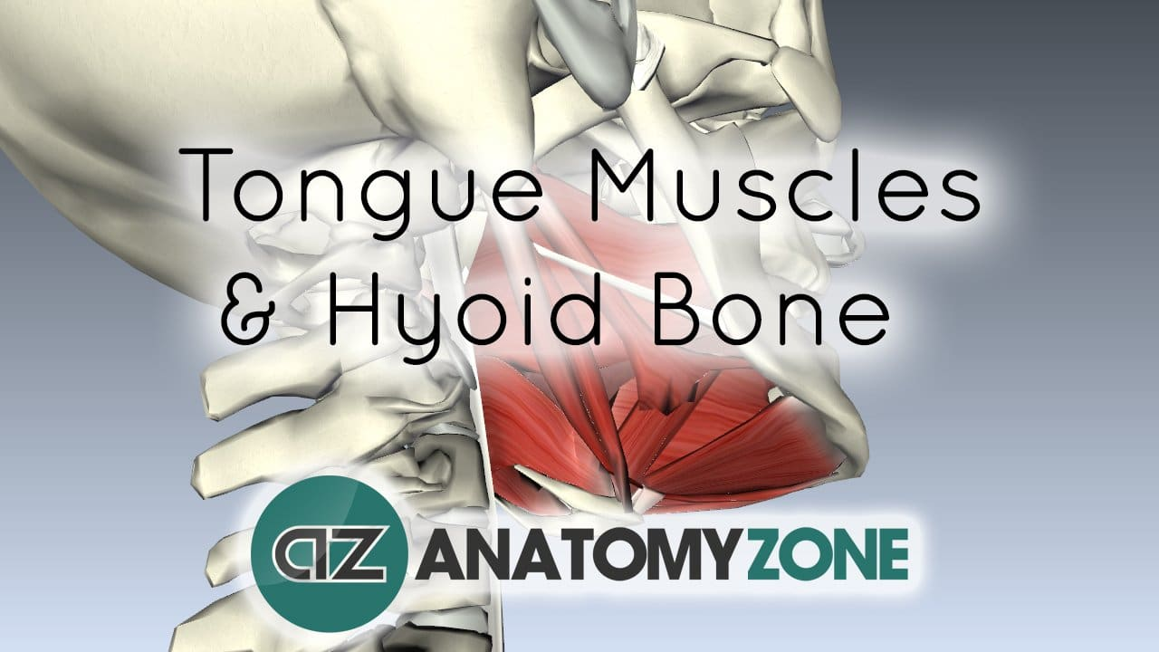 Tongue Muscles and the Hyoid Bone • Muscular, Musculoskeletal ...