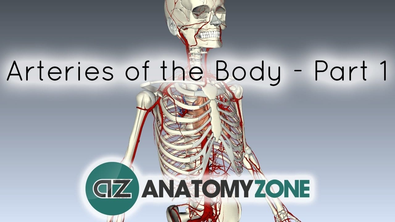 diagram of body nerves arteries of the body bull cardiovascular bull anatomyzone diagram of body veins #7