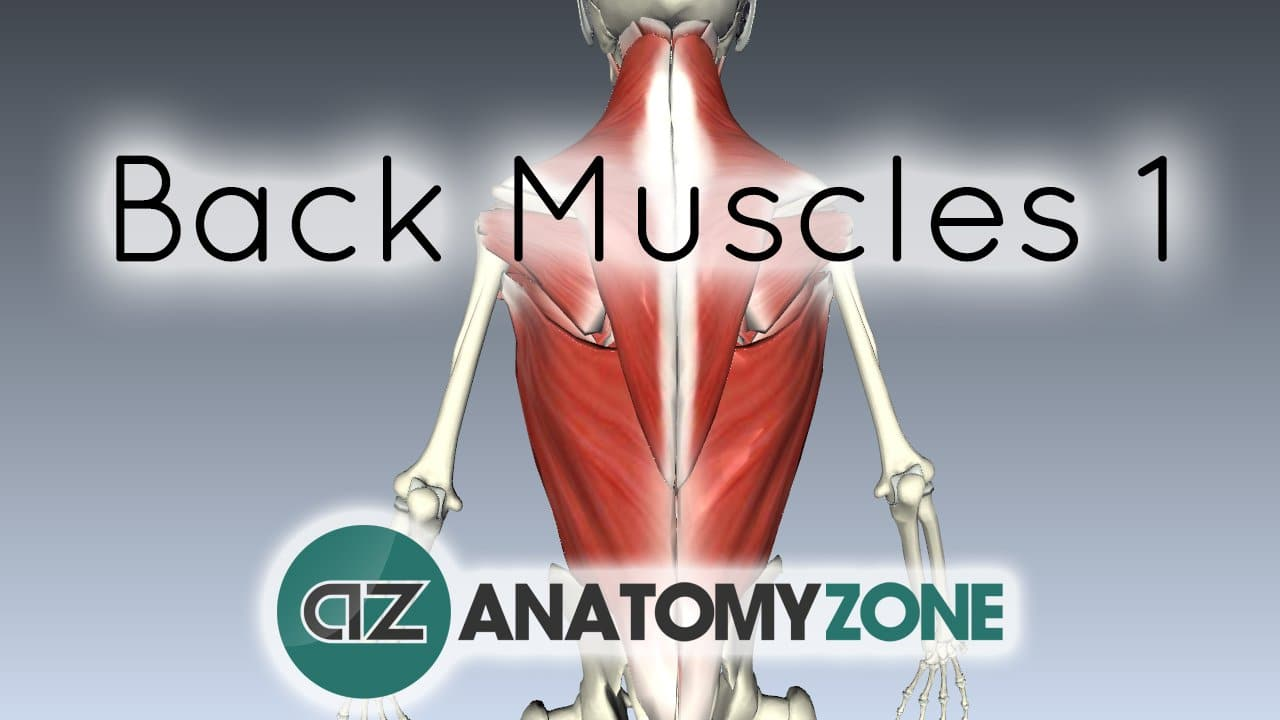 Extrinsic Muscles Of The Back Musculoskeletal Anatomyzone
