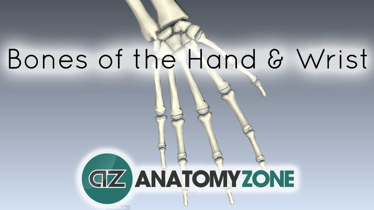 Bones Of The Hand And Wrist Musculoskeletal Skeletal Anatomyzone