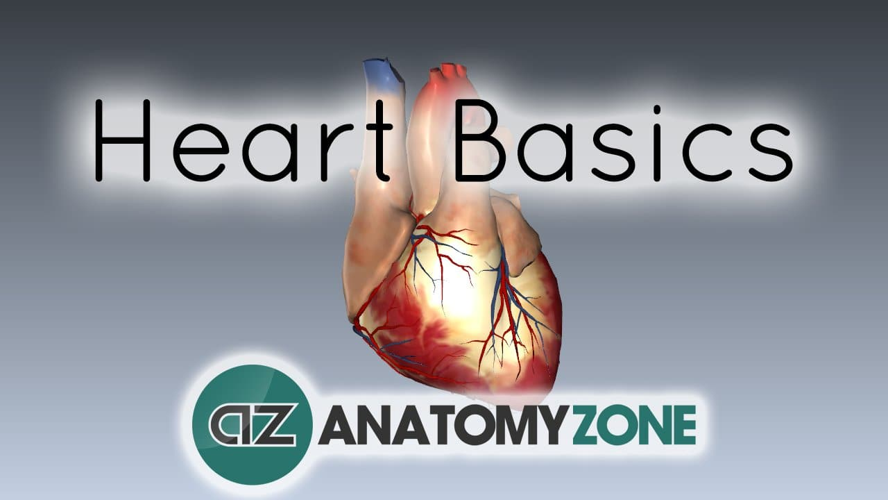 Heart Structure and Function Basics • Cardiovascular ...