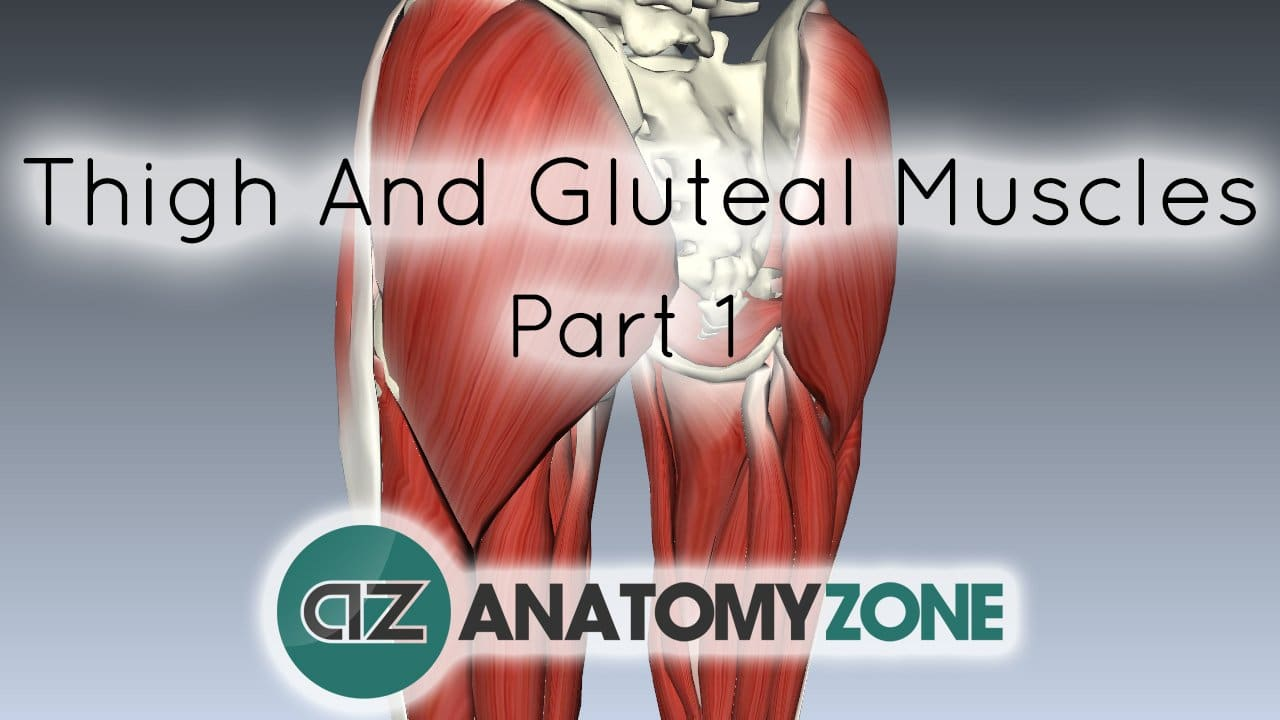 Muscles Of The Thigh And Gluteal Region Muscular Musculoskeletal