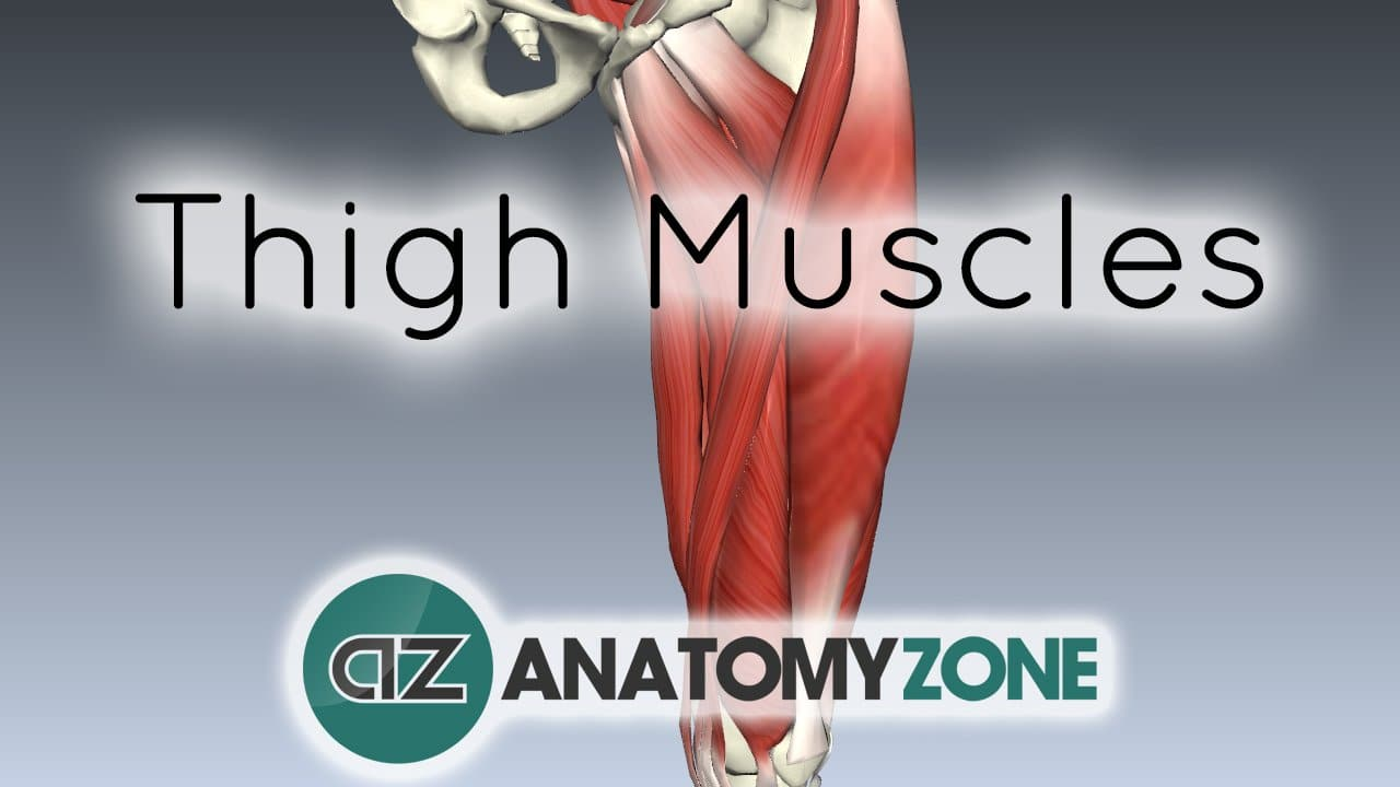 Muscles of the Thigh • Muscular, Musculoskeletal • AnatomyZone