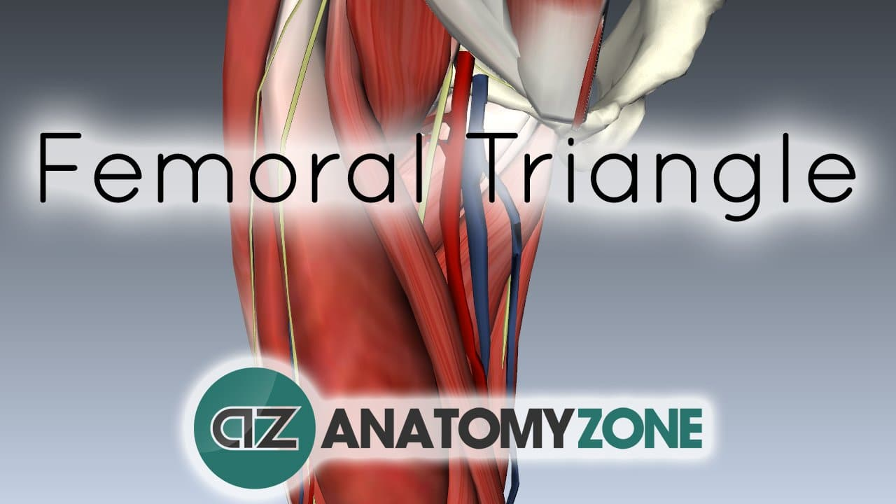 femoral triangle • musculoskeletal • anatomyzone, Muscles