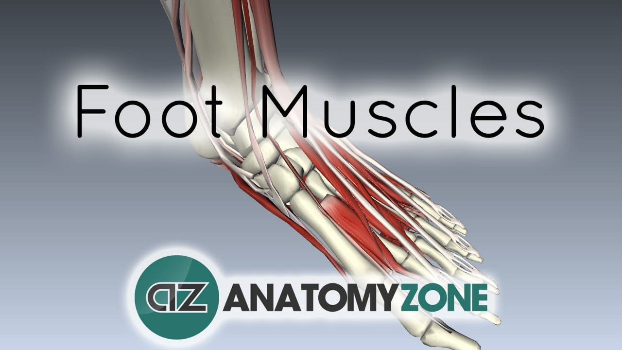 Intrinsic Muscles Of The Foot Muscular Musculoskeletal Anatomyzone