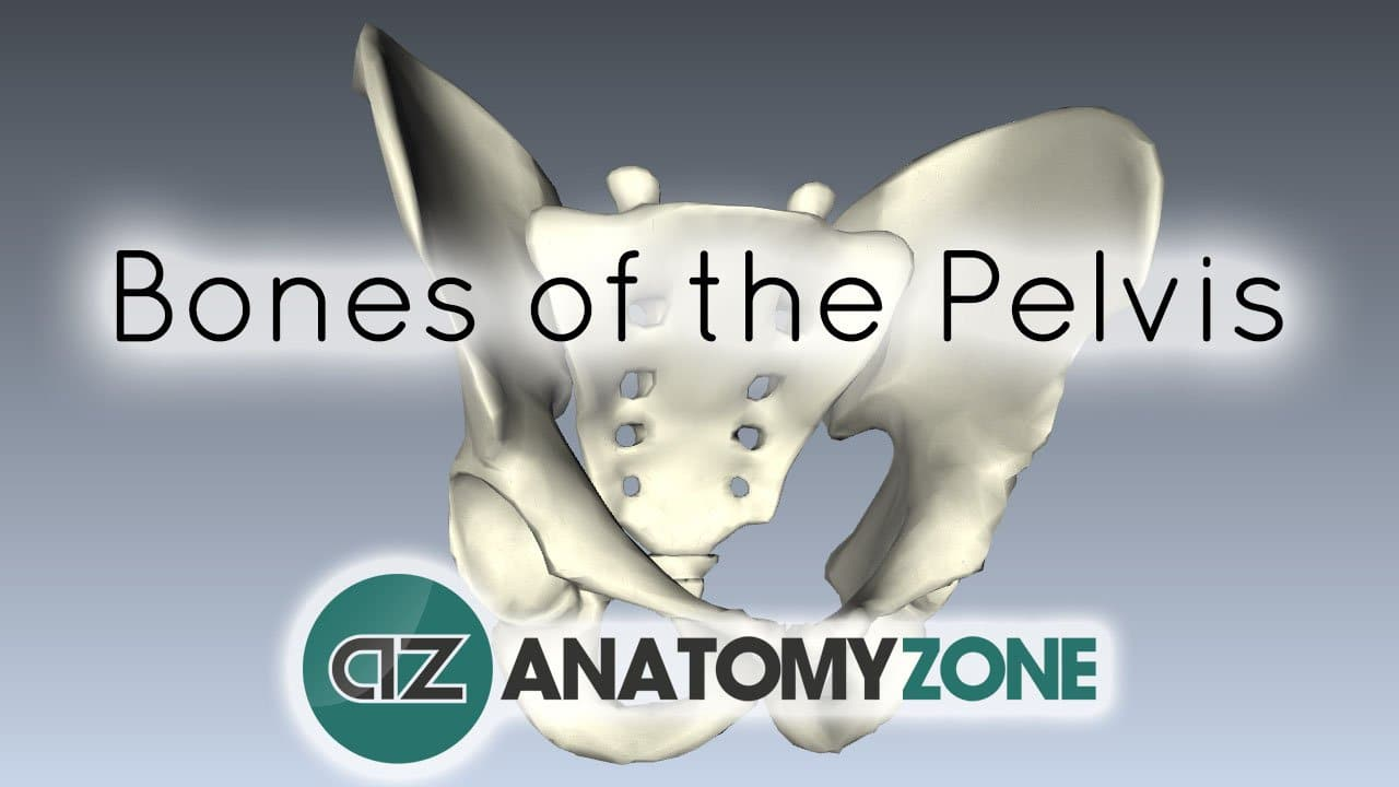 Bones Of The Pelvis Musculoskeletal Skeletal Anatomyzone