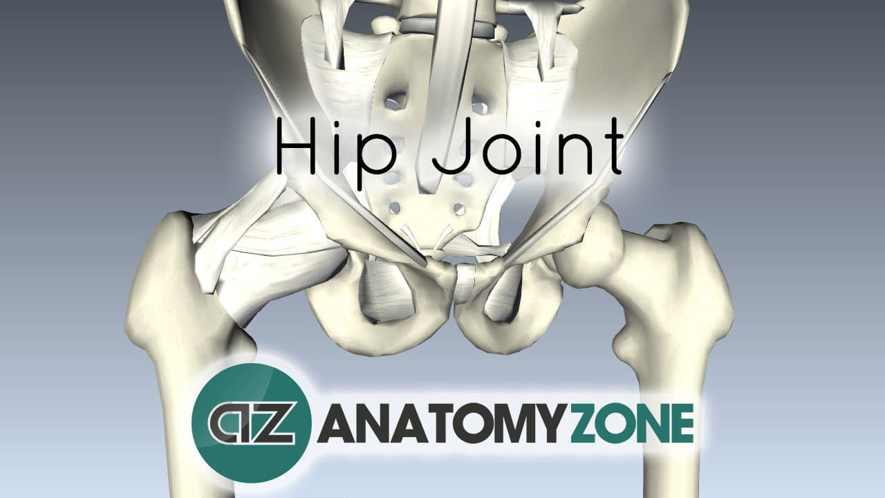 The Hip Joint Musculoskeletal Anatomyzone