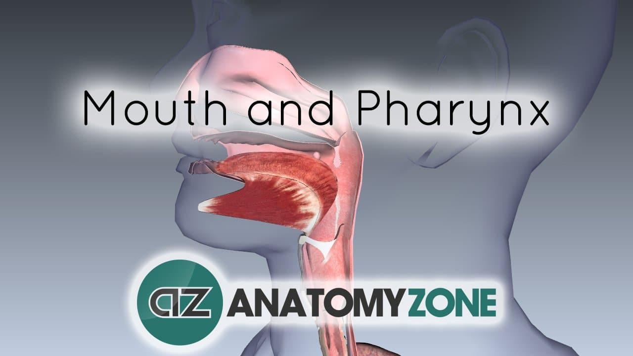 Digestive System Basics - Mouth and Pharynx • • AnatomyZone
