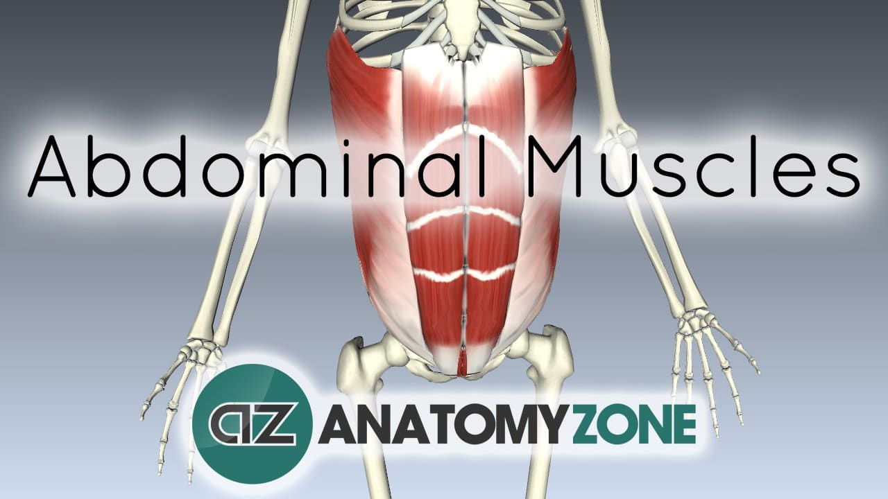 Muscles Of The Anterior Abdominal Wall Muscular Musculoskeletal