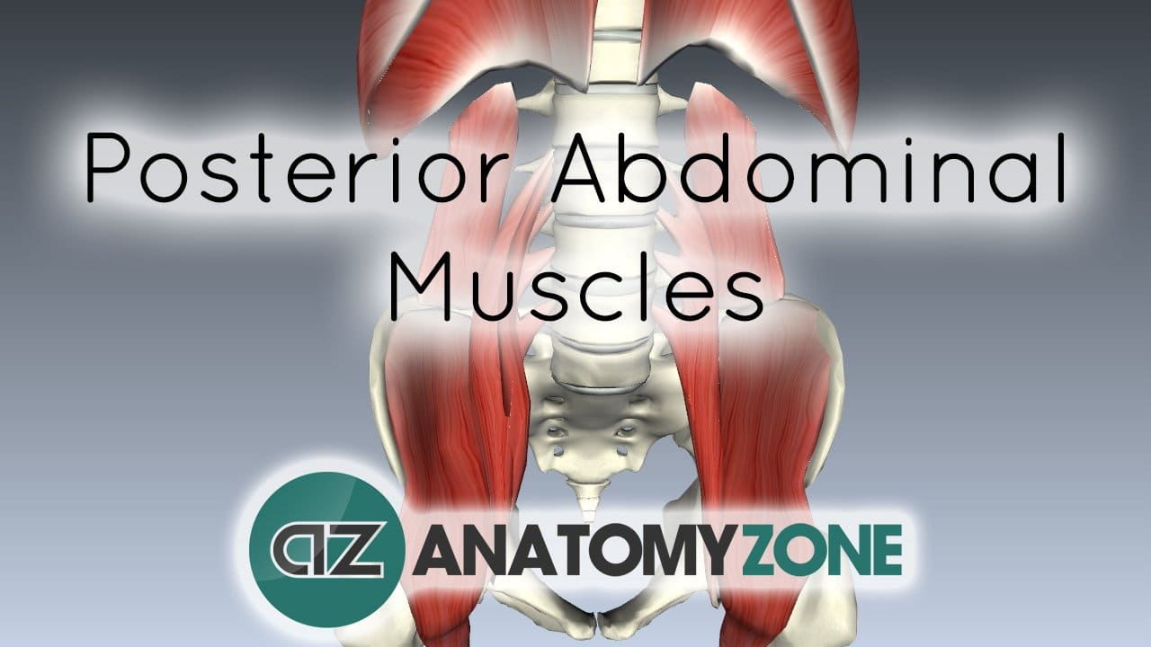 Muscles Of The Posterior Abdominal Wall Muscular Musculoskeletal