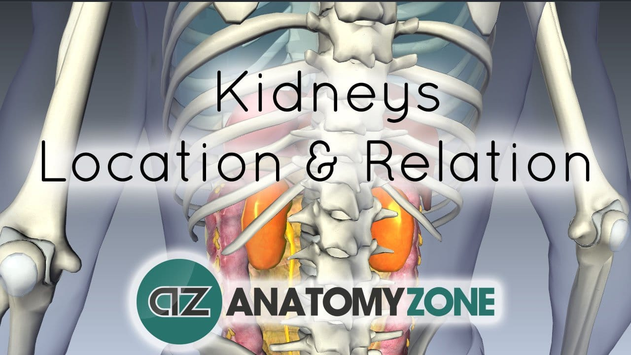 Location And Relations Of The Kidney Urinary Anatomyzone