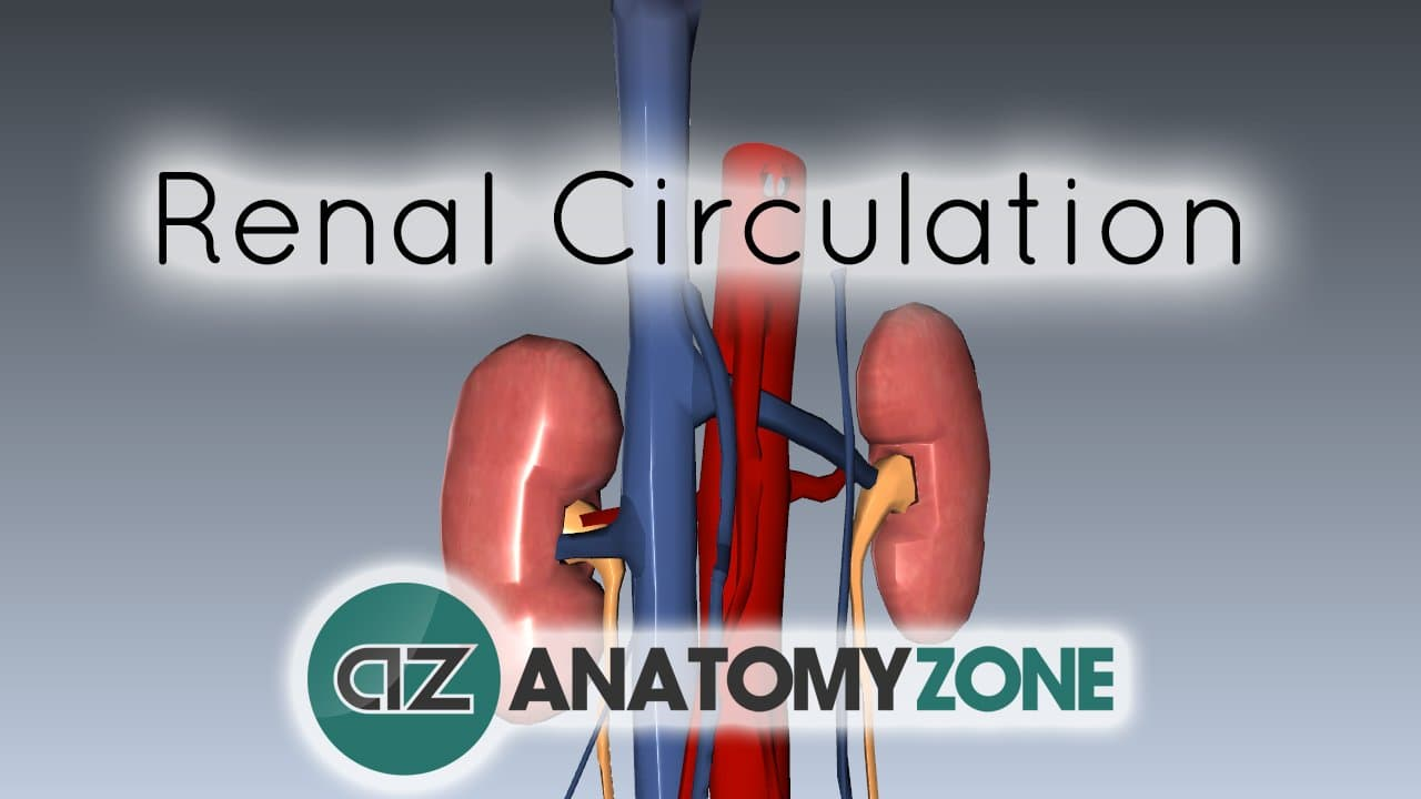 Renal circulation cardiovascular urinary anatomyzone ccuart Image collections