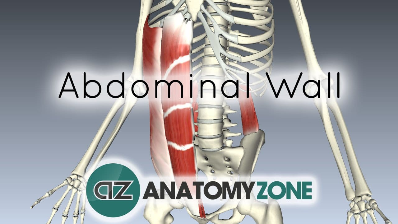 Layers Of The Abdominal Wall Muscular Musculoskeletal Anatomyzone
