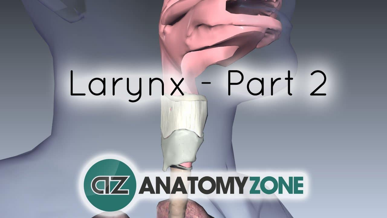 Larynx - Ligaments, Membranes, Vocal Cords • Respiratory • AnatomyZone