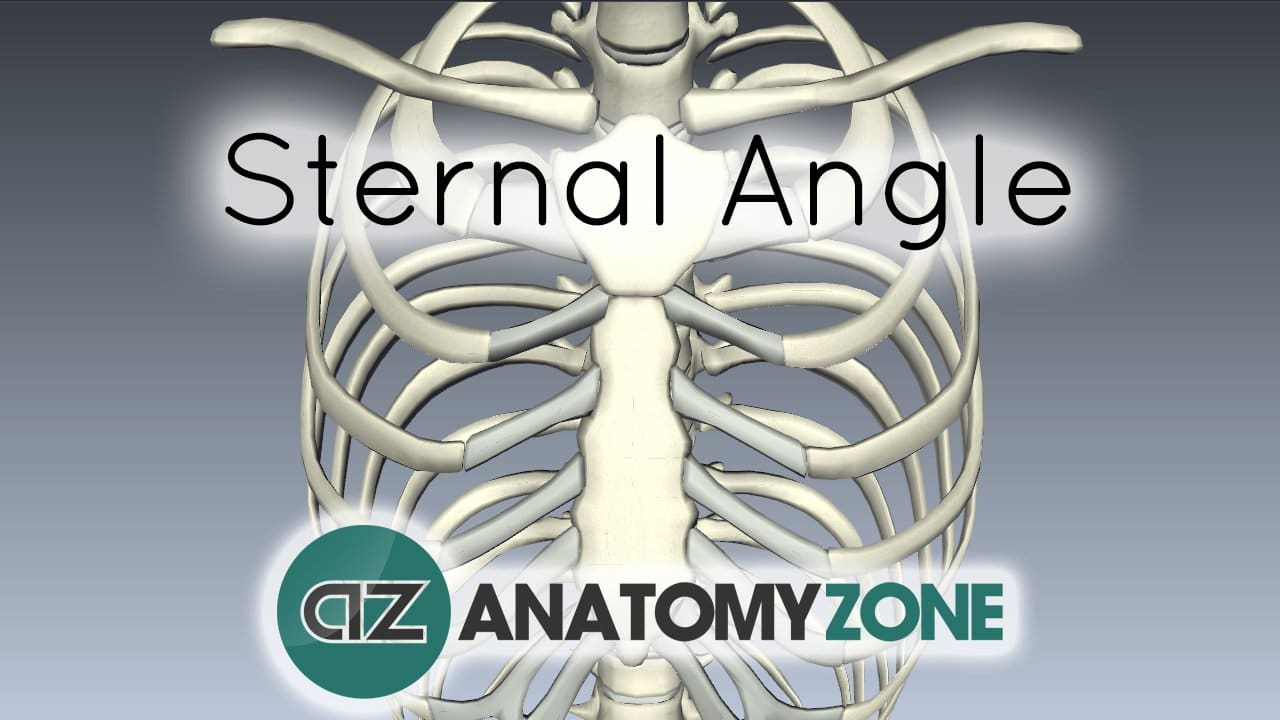 sternal angle of louis • musculoskeletal, skeletal • anatomyzone, Human Body